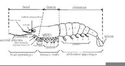 Diagram___ Lobster (500)